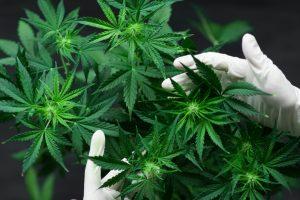 Какие страны могут легализовать марихуану в 2019 году?