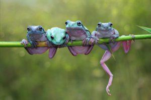 Городские лягушки привлекательнее деревенских