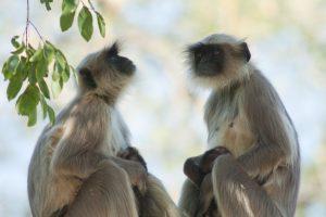 Редкую обезьяну убили и съели в прямом эфире Facebook