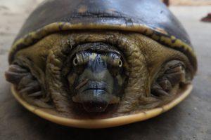 Черепаха объясняет льву, зачем ей панцирь: видео