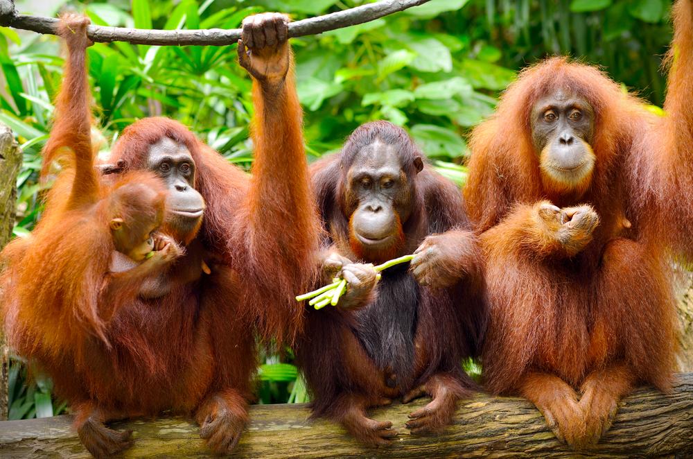 Орангутанги умеют говорить о прошлом: ученые