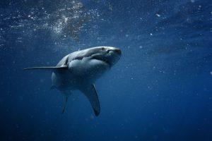 Число акул сократилось на 92% за полвека: ученые