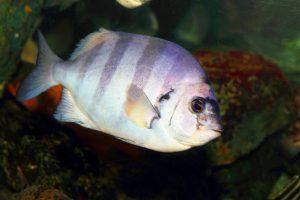 Экзотическая рыбка добралась из Японии в Калифорнию с цунами