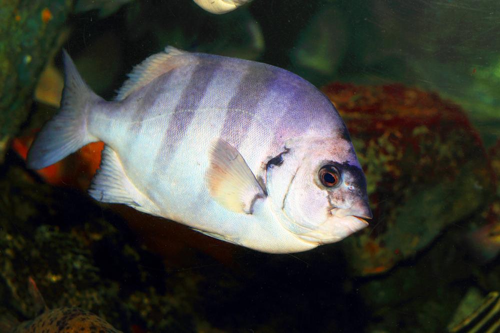 Экзотическая рыбка добралась из Японии в Калифорнию с цунами.Вокруг Света. Украина