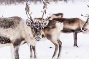 Северные олени вымирают из-за дефицита лишайников