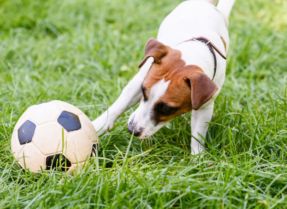 В Аргентине собака стала футбольным вратарем