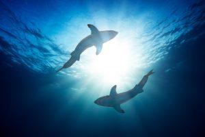 Самые необычные виды акул и скатов, находящиеся на грани вымирания