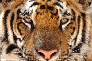 Китайские ученые отправили в космос ДНК редчайшего тигра