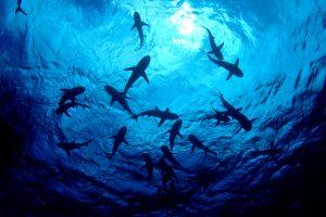 Изменения климата делают акул правшами