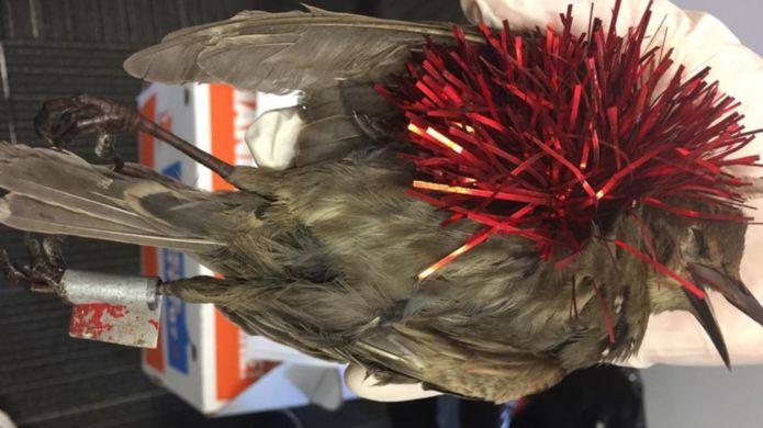 В Новой Зеландии погибли десятки птиц из-за новогодних украшений