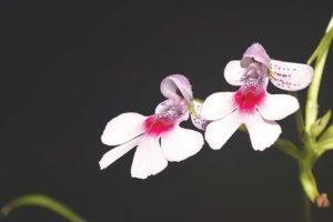 Ученые открыли орхидею, пахнущую шампанским
