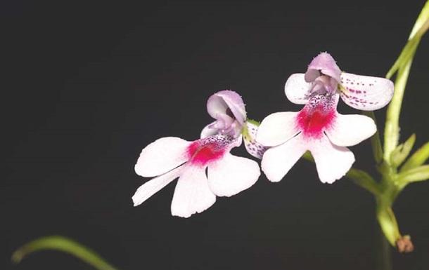 Ученые открыли орхидею, пахнущую шампанским.Вокруг Света. Украина