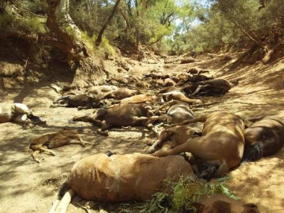 Жара в Австралии: десятки диких лошадей погибли у пересохшего источника.Вокруг Света. Украина