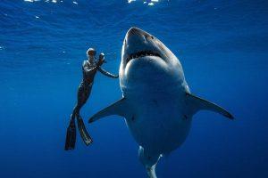 На Гавайях обнаружили самую большую белую акулу в мире