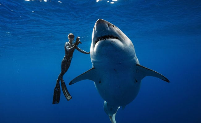 На Гавайях обнаружили самую большую белую акулу в мире.Вокруг Света. Украина
