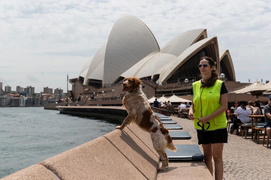 В Сиднее патрульные собаки отгоняют чаек, ворующих картошку фри