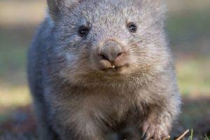 В Тасмании туристам предлагают дать клятву вомбатам