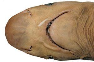 Ученые открыли новый вид акул. Но он недавно вымер
