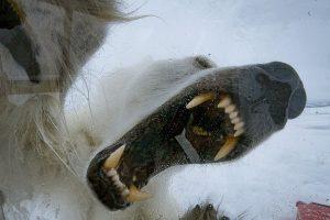 В Норвегии голодная медведица напала на фотографа (видео)