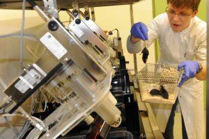 Израильские ученые омолодили старых мышей