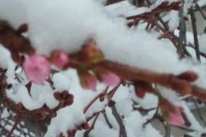 В Мукачево под снегом зацвела сакура
