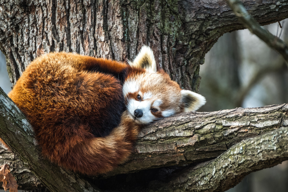 Красная панда сбежала из зоопарка в Белфасте