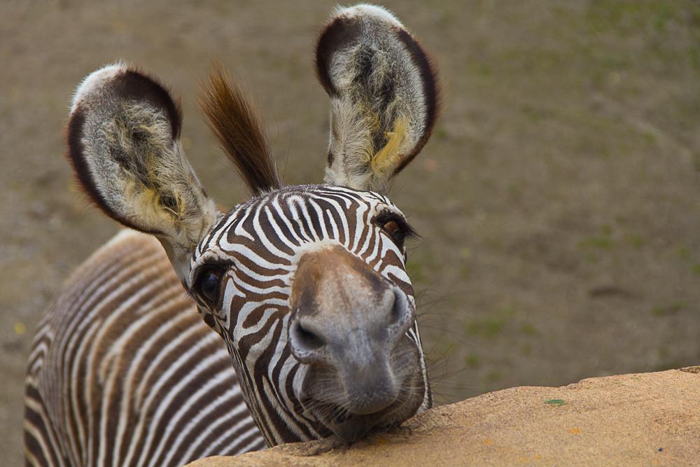 Зебры могут научить людей отпугивать насекомых