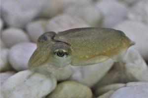 Каракатицы начинают думать еще в яйце