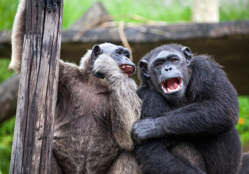 В Китае шимпанзе работают уборщиками