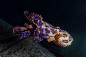 В шаге от смерти: турист погладил самого ядовитого осьминога в мире (видео)