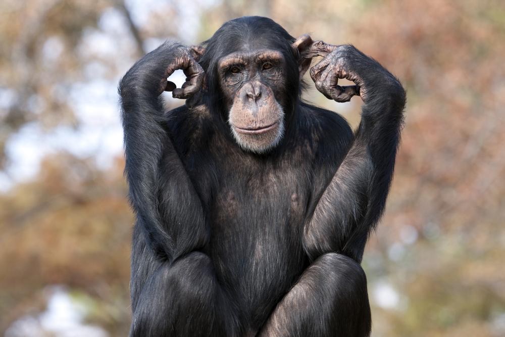 В Швейцарии проведут референдум по правам шимпанзе.Вокруг Света. Украина