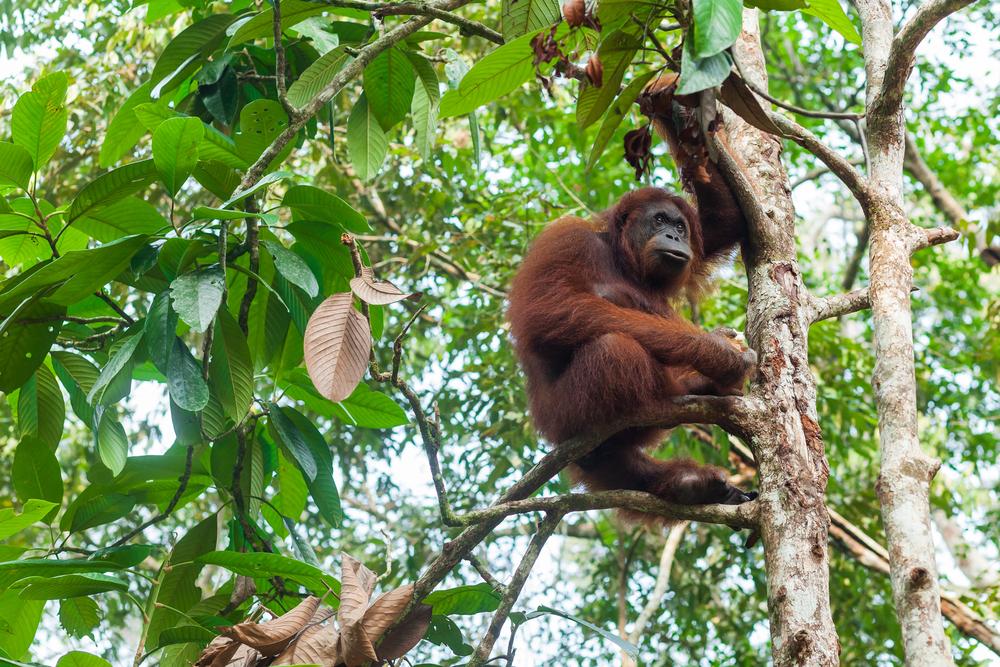 Як на Суматрі зберігають ліси для орангутанів у небанальний спосіб