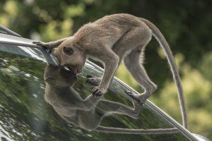 В Малайзии обезьяна профессионально ограбила авто