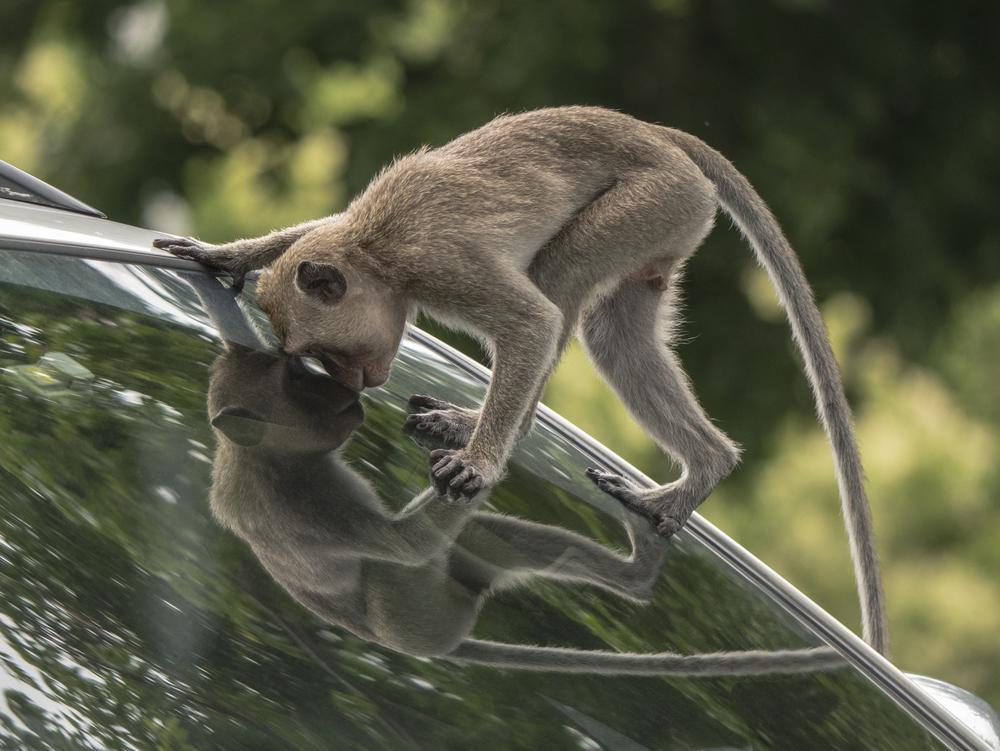 В Малайзии обезьяна профессионально ограбила авто.Вокруг Света. Украина