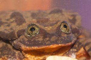 Одинокий самец вымирающей лягушки нашел пару