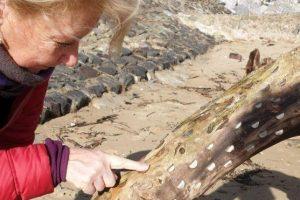 В Уэльсе на берег выбросило дерево желаний