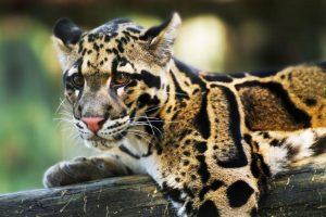 На Тайване заметили хищника, который считался вымершим
