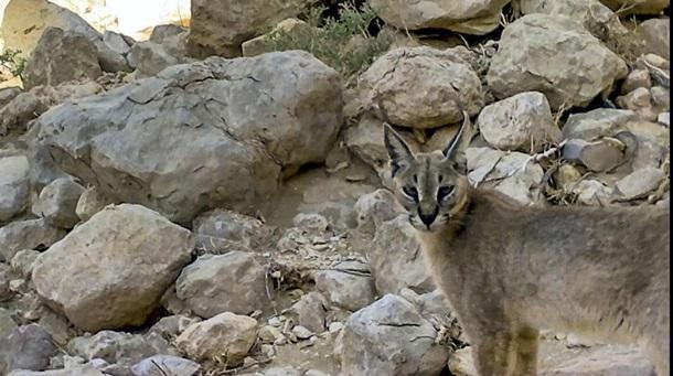 В ОАЭ впервые за 35 лет замечена пустынная рысь