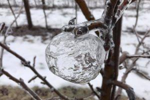 На дереве в США выросли ледяные яблоки