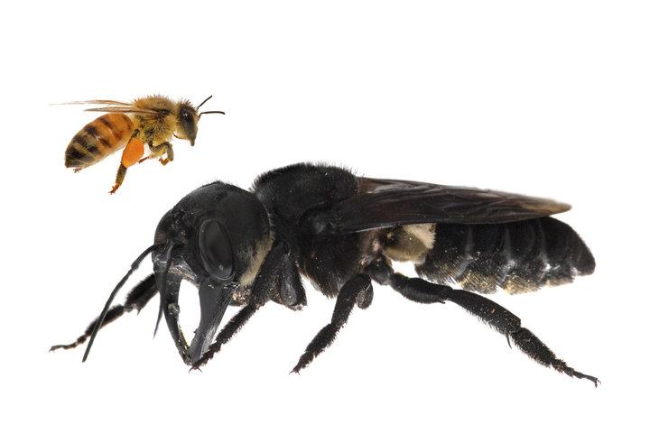 В Индонезии обнаружили крупнейшую в мире пчелу, которая считалась вымершей