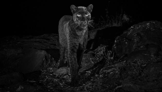 В Африке впервые за 100 лет обнаружили черного леопарда