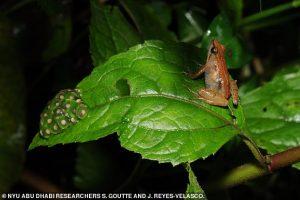 В Эфиопии нашли новый вид золотых лягушек