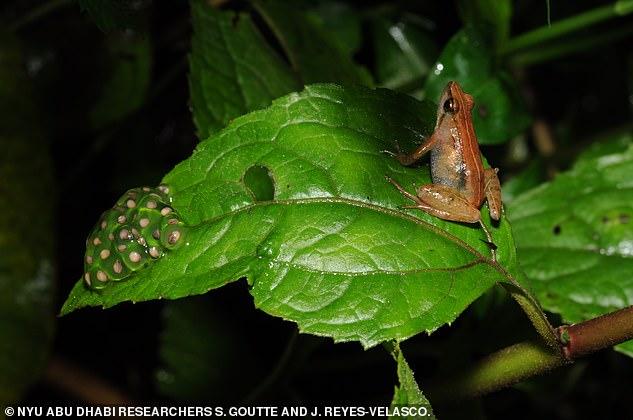 В Эфиопии нашли новый вид золотых лягушек.Вокруг Света. Украина