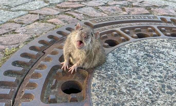 В Германии бригада пожарных спасла слишком толстую крысу