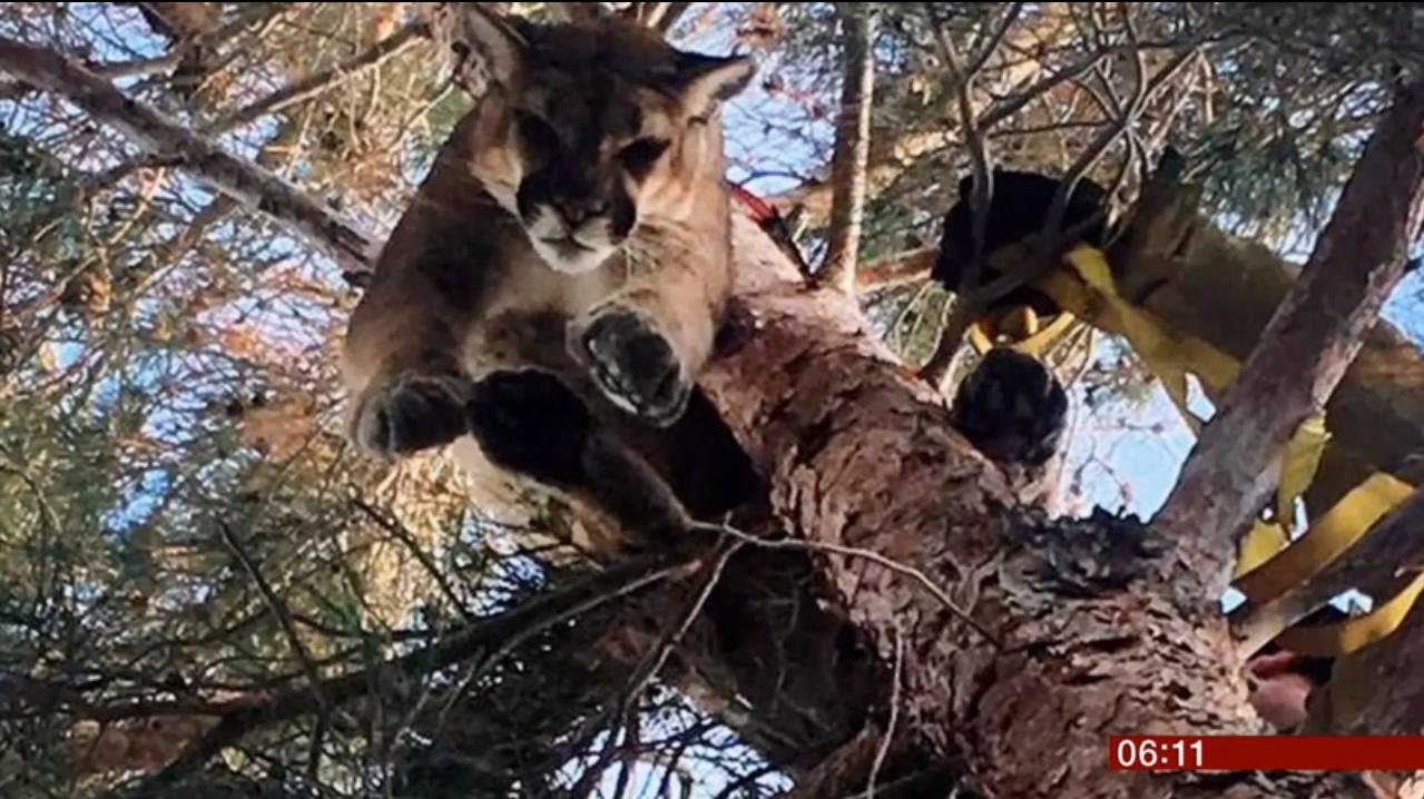В Калифорнии пожарным пришлось снимать с дерева пуму