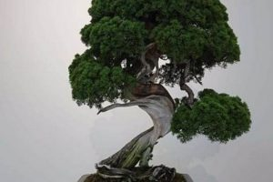 В Японии украли уникальное дерево бонсай