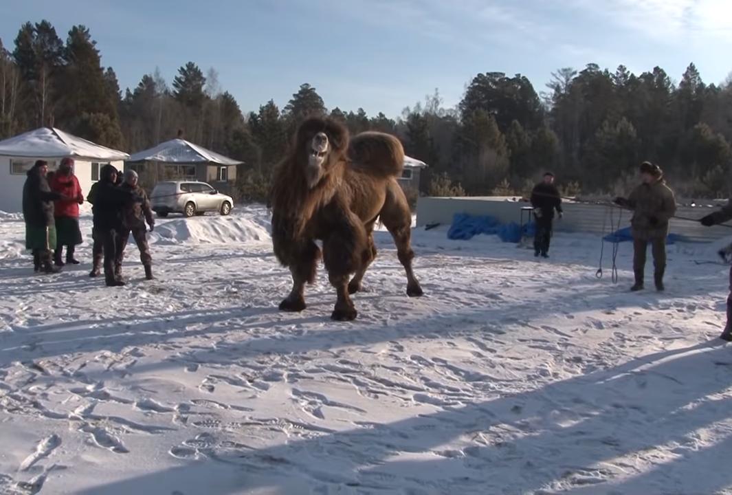 В России принесли в жертву пять верблюдов во славу государства