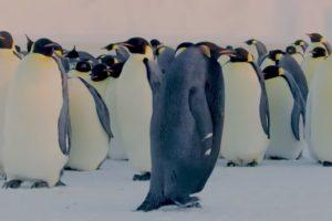 Ученые обнаружили уникального черного пингвина