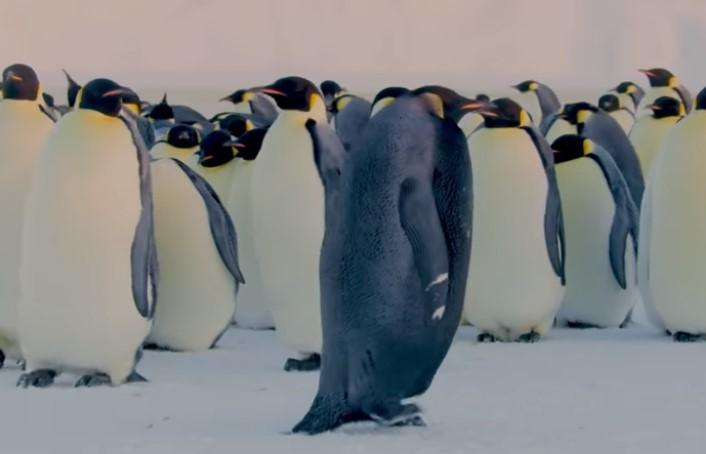 Ученые обнаружили уникального черного пингвина.Вокруг Света. Украина