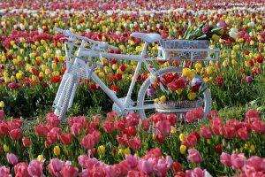 В Риме откроют парк тюльпанов, где можно собрать букет